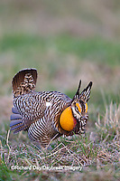 00842-03820 Greater Prairie-Chicken (Tympanuchus cupido)  male booming/displaying on lek Prairie Ridge State Natural Area Jasper Co, IL