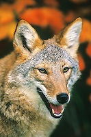 Coyote portrait by fall color leaves in Minnesota.