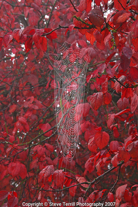 Spider web on fall colored flowering plum tree in Portland Oregon