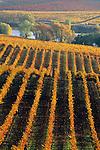 Vineyards in fall at Artesa Winery, Carneros Region, Napa County, California