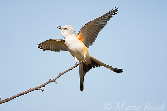 Scissor-tailed Flycatcher (Tyrannus forficatus) displaying with wings and tail outspread, Wichita Mountains NWR, Oklahoma, USA