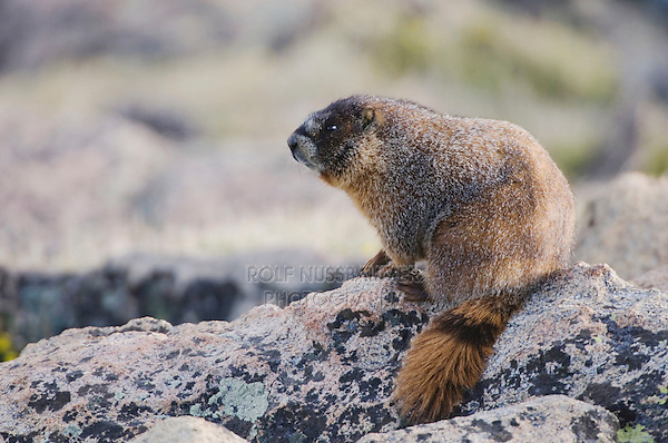 Yellow-bellied Marmot,Marmota flaviventris,adult on rock boulder,Rocky Mountain National Park, Colorado, USA, June 2007