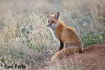 Red fox at den. Laramie Plains, Wyoming.