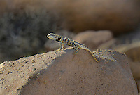 442800025 a wild yellow-backed spiny lizard sceloparus uniformis perches on a large rock in inyo county california