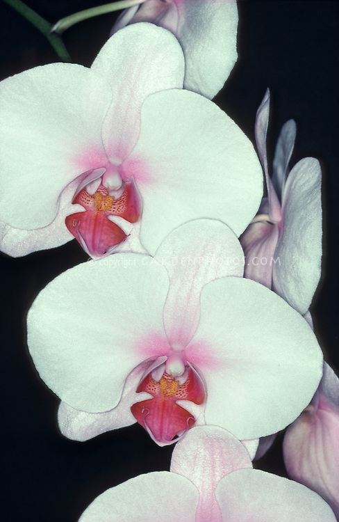 ORCHID: Phalaenopsis Zuma Urchin white with colored lip, blush pink, closeup of flowers. hybrid easy to grow. (Shu King x Debbie Wallace, hybridized by Zuma Canyon Orchids 1984)