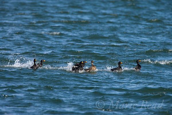 Black Scoters (Melanitta nigra), courting group of males chasing female, Barnegat Inlet, New Jersey, USA