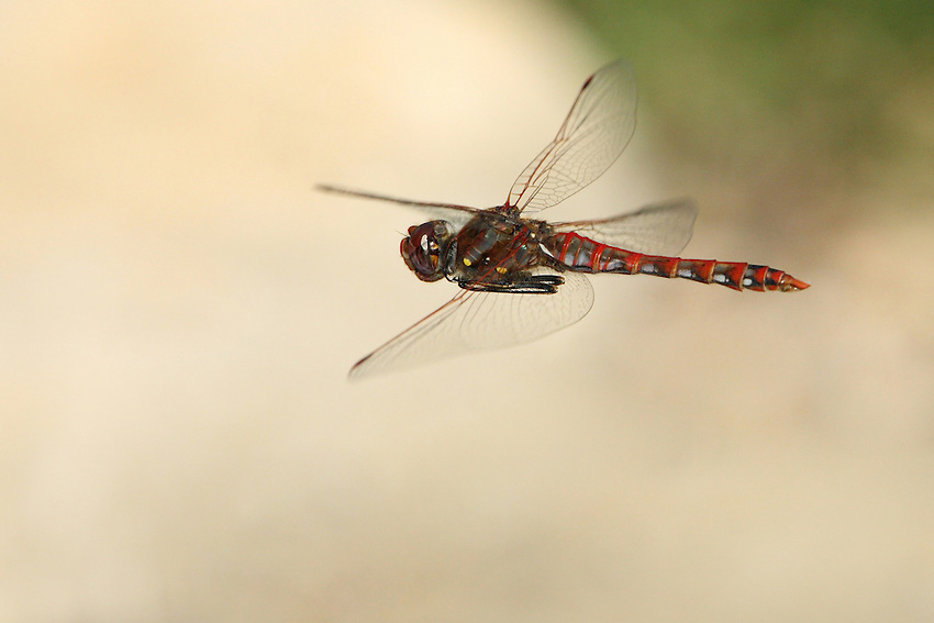 The Variegated Meadowhawk is largely tan or gray with a pale face that is tan in young males and females, but becomes red in mature males.