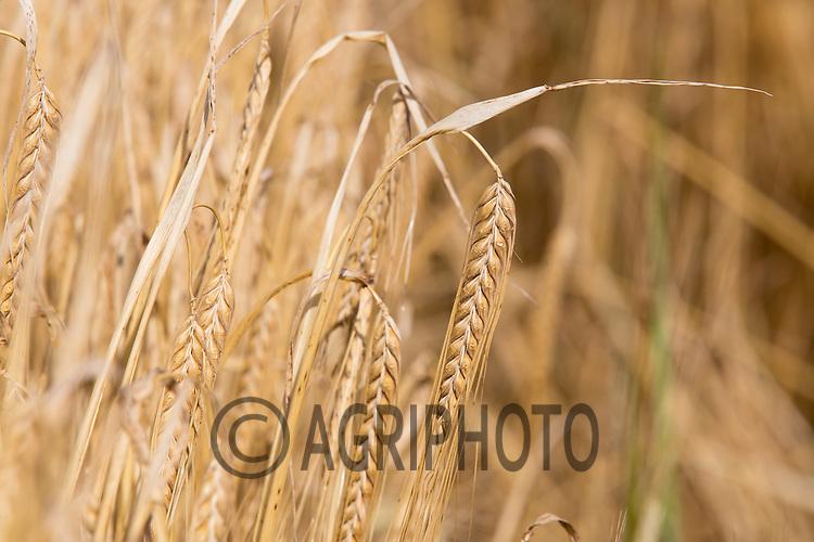 Spring Barley ready for harvest <br /> Picture Tim Scrivener 07850 303986<br /> &hellip;.covering agriculture in the UK&hellip;.