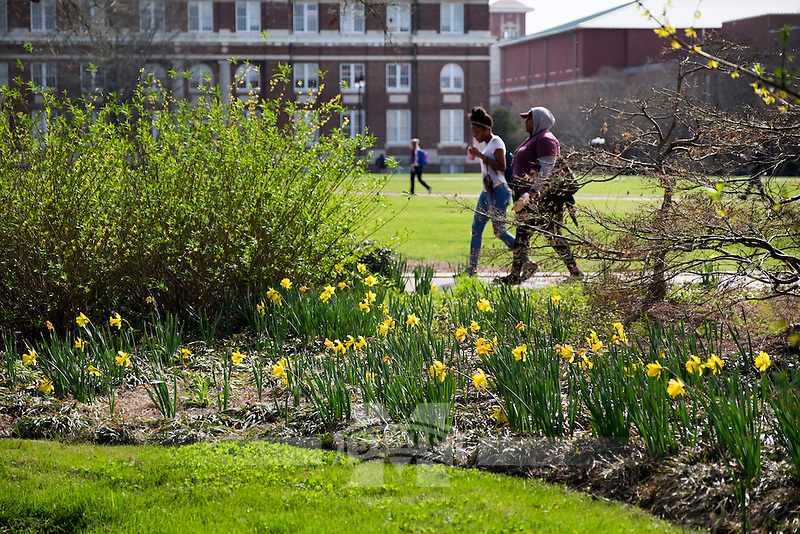 Drill Field Daffodils.<br />  (photo by Megan Bean / &copy; Mississippi State University)