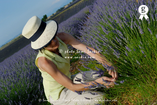 Woman picking up lavender flowers in field (Licence this image exclusively with Getty: http://www.gettyimages.com/detail/sb10065474r-001 )