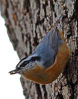 Male red-breasted nuthatch