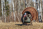 Eastern wild Turkey strutting in a northern Wisconsin field.