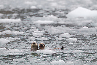Sea otter and young pup show curiosity while swimming in the floating icebergs around surprise glacier, Prince William Sound, Alaska.
