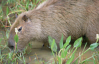 A large capivara sniffs around in the flooded undergrowth of the Pantanal Wetlands.