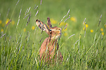 "MAIN IMAGE:  HAPPY HARE.  A hare appears to break into a grin as it sniffs some long grass.<br /> <br /> The 'smiling' brown hare was spotted in a field in Tysoe, Warwickshire by Events Manager Richard Ellis.<br /> <br /> Richard said, ""These guys really love fresh grass, she may have picked up the scent of other hares.  While she smelt the grass it looked like it seems to make her smile.  It almost felt like she was posing for me as she certainly knew I was there, I was only about eight feet away.""<br /> <br /> Please byline: Richard Ellis/Solent News<br /> <br /> © Richard Ellis/Solent News & Photo Agency<br /> UK +44 (0) 2380 458800"