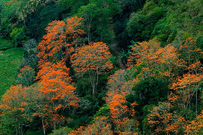Flowering orange Poro trees are abundant in the Orosi Valley of Costa Rica.