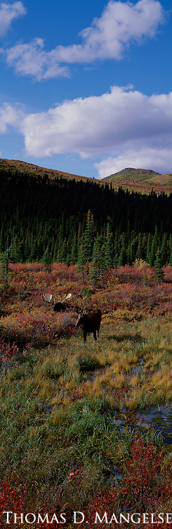 Two mating moose rest under the blue skies of an Indian summer in Denali National Park, Alaska.