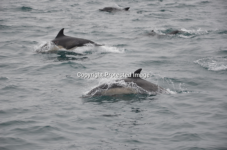 Royalty Free Stock Photos of Common Dolphins