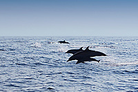Pantropical Spotted Dolphins, mother & calf, Stenella attenuata, jumping, off Kona Coast, Big Island, Hawaii, Pacific Ocean
