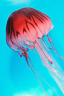 purple striped jelly (c), .Pelagia colorata, .California (E. Pacific).