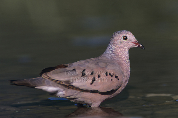 Common Ground-Dove, Columbina passerina, adult drinking, Lake Corpus Christi, Texas, USA