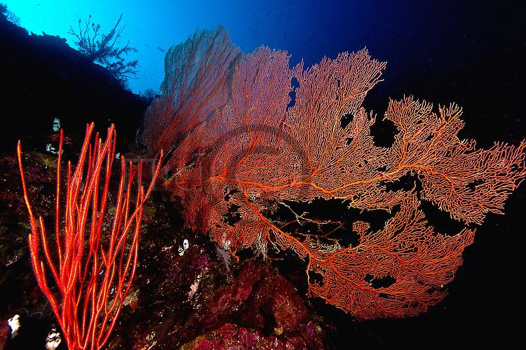Leptogorgia virgulata, colourful sea whip with gorgonian sea fan