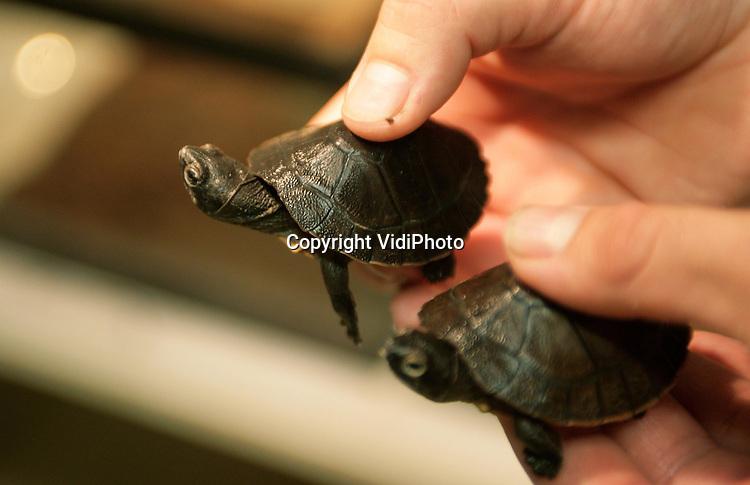 Foto: VidiPhoto..ARNHEM - In Burgers' Zoo zijn 9 Borneose rivierschildpadden uit het ei gekomen. In februari 2005 troffen dierverzorgers 15 eieren in Burgers' Mangrove aan. Die eieren zijn vervolgens in een broedmachine uitgebroed, maar tot grote verbazing van de dierverzorgers werden er ook nog eens 7 jonge schildpadjes in Burgers' Mangrove aangetroffen! Deze 7 jongen zijn op natuurlijke wijze uit hun eieren gekomen, die het moederdier zorgvuldig onder het zand had begraven. De ernstig bedreigde schildpaden waren in 2001 in Hong Kong door de douane in beslag genomen en werden met de vishaken nog in hun lichamen opgevangen door Burgers Zoo in Arnhem. Voor het Europese fokprogramma is de geboorte van de schildpadjes van groot belang.