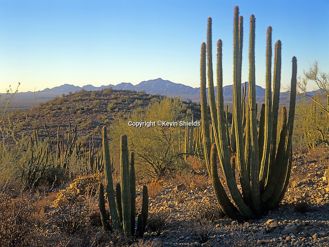Organ Pipe Cactus growing in Organ Pipe Cactus National Monument, Arizona, USA