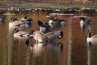Canada Geese,  Branta canadensis, preening on Delgian Pond at  Camp Saratoga, Wilton, New York