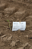 Fennel plants next to a batch ID card <br /> Picture Tim Scrivener 07850 303986 <br /> scrivphoto@btinternet.com<br /> &hellip;.covering agriculture in the UK&hellip;.