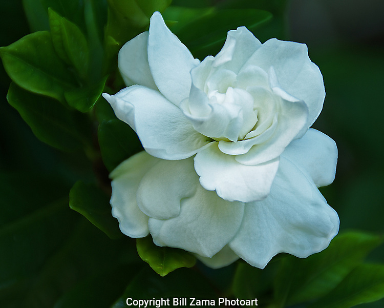 Gardenia in my backyard, Round Rock Texas