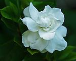 Gardenia in my backyard, Round Rock Texas