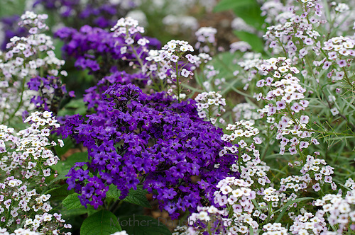 Purple flowers, Sweet Allysum or Brassicaceae sp, close up, Maine, USA