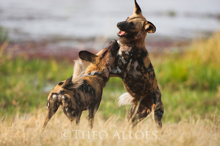 Botswana, Okavango Delta, Moremi Game Reserve, African wild dog (painted wolf, painted dog) (Lycaon pictus ) playing, African wild dogs are highly endangered animals