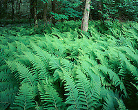 Ferns springtime, Greene, RI