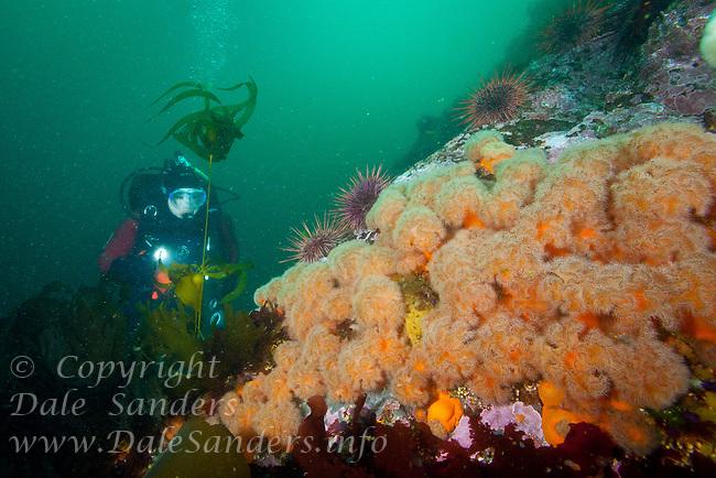 Scuba diver Suelaine Gin  swims a colorful reef covered with Orange Plumose Anemones  ( Metridium senile ) underwateer in Haida Gwaii, British Columbia, Canada.