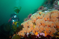 Scuba diver Suelaine Gin  swims a colorful reef covered with Orange Plumose Anemones  ( Metridium senile ) underwateer in Haida Gwaii, British Columbia, Canada.