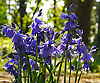 Bluebells (Hyacinthoides non-scripta) are particularly associated with ancient woodland where it may dominate the under storey to produce carpets of violet&ndash;blue flowers in &quot;bluebell woods&quot;, but also occurs in more open habitats in western regions. It is protected under UK law, and in some other parts of its range.<br />
