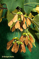 MP08-001c  Sugar Maple - seeds - Acer saccharum