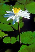 LOTUS BLOSSOM (WATER Lilly) - VITI LEVU, FIJI