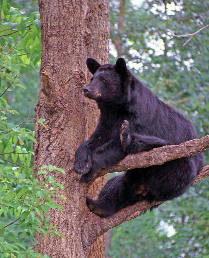 Black bear sow in tree, Vince Shute Wildlife Sanctuary, Orr, Minnesota
