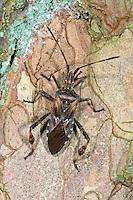 Amerikanische Kiefernwanze, Amerikanische Zapfenwanze, Leptoglossus occidentalis, western conifer seed bug, Randwanzen, Lederwanzen, Coreidae, leaf-footed bugs, in Europa eingeschleppte Wanzenart aus Nordamerika