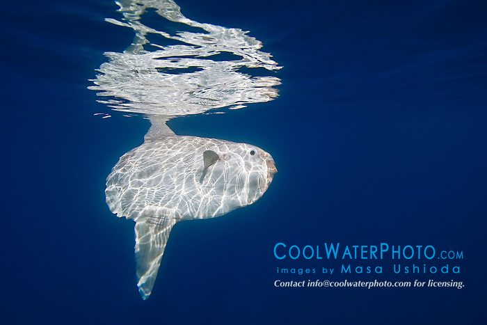 ocean sunfish, Mola mola, basking in the sun, lays flat against surface, reflecting sunlight like a mirror, perhaps to attract sea birds such as gulls which would pick up parasites from the fish, off San Diego, California, East Paficic Ocean