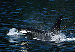 orca surfacing