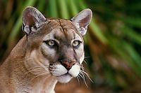 Florida panther (Felis concolor), Endangered Species.