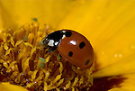7 Spot Ladybird feeding on aphid, coccinella septempunctata, orange red flower, garden, predator, .United Kingdom....