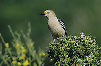 Golden-fronted Woodpecker, Melanerpes aurifrons, female, Starr County, Rio Grande Valley, Texas, USA, May 2002
