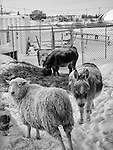 Sheep and donkeys in winter