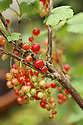 Peter Emerson's garden, where is has grown his own Red Currants, a major grapevine outside the house, Olive trees, Figs trees, Gooseberries, Plum trees, apple trees, pear tree and black currant tree around and in his Rhubarb Cottage in North Belfast Wednesday July 3rd, 2019. (Photo by Paul McErlane for the Belfast Telegraph)