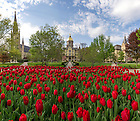 May 5, 2016; May 5, 2016; Tulips in full bloom in front of the Main Building. (Photo by Barbara Johnston/University of Notre Dame)